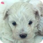 ミックス マルプー クリーム オス 子犬販売の専門店 AngelWan 横浜