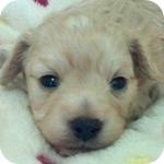 ミックス マルプー アプリコット オス 子犬販売の専門店 AngelWan 横浜