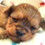 ミックス チワプー レッド オス 子犬販売の専門店 AngelWan 横浜
