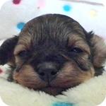 ミックス チワプー ブラック&タン オス 子犬販売の専門店 AngelWan 横浜