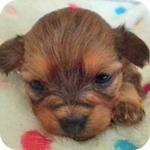 ミックス チワプー レッド メス 子犬販売の専門店 AngelWan 横浜