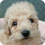 トイプードル クリーム オス 子犬販売の専門店 AngelWan 横浜