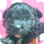 ミックス ポメプー ポメラニアン トイプードル ブラック 子犬販売の専門店 AngelWan 横浜
