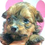 ミックス ポメプー ポメラニアン トイプードル レッド系 メス 子犬販売の専門店 AngelWan 横浜