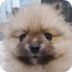 ポメラニアン オレンジ オス 子犬販売の専門店 AngelWan 横浜