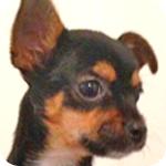 ミックス チワワ ヨーキー ブラック&タン メス 子犬販売の専門店 AngelWan 横浜