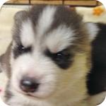 シベリアンハスキー シルバー&ホワイト オス 子犬販売の専門店 AngelWan 横浜