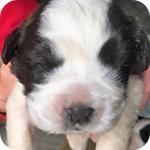セントバーナード ブラウン&ホワイト 子犬販売の専門店 AngelWan 横浜
