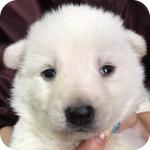ホワイトシェパード 子犬販売の専門店 AngelWan 横浜