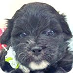 ミックス トイプードル シーズー 子犬販売の専門店 AngelWan 横浜