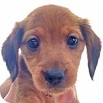 ミックス ダックス ヨーキー オス 子犬販売の専門店 AngelWan 横浜
