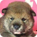 柴犬 豆柴 胡麻 オス 子犬販売の専門店 AngelWan 横浜
