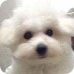 ビションフリーゼ ホワイト オス 子犬販売の専門店 AngelWan 横浜