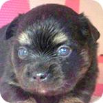 ミックス チワワ ポメラニアン オス 子犬販売の専門店 AngelWan 横浜
