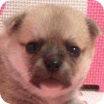 ミックス チワワ ポメラニアン フォーン オス 子犬販売の専門店 AngelWan 横浜