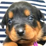 ロットワイラー ブラック&タン メス 子犬販売の専門店 横浜