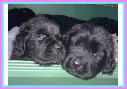 ニューファンドランド ブラック 子犬販売の専門店 AngelWan 横浜