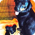 ロットワイラー ブラック&タン 子犬販売の専門店 AngelWan 横浜
