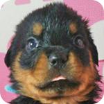 ロットワイラー ブラック&タン オス 子犬販売の専門店 AngelWan 横浜