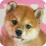 柴犬 オス 子犬販売の専門店 AngelWan 横浜
