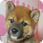 柴犬 赤 メス 子犬販売の専門店 AngelWan 横浜