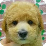 トイプードル アプリコット オス 子犬販売の専門店 AngelWan 横浜