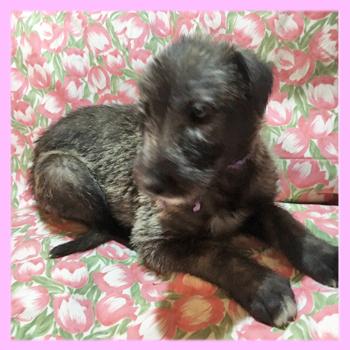 アイリッシュウルフハウンド ブリンドル メス 子犬販売の専門店 AngelWan 横浜