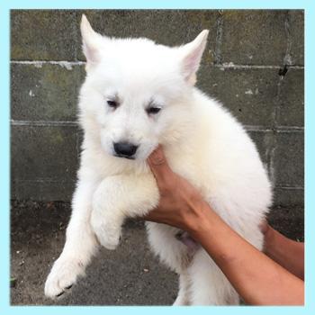 ホワイトシェパード オス 子犬販売の専門店 AngelWan 横浜