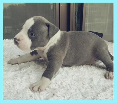 アメリカンピットブルテリア ブルー&ホワイト オス 子犬販売の専門店 AngelWan 横浜