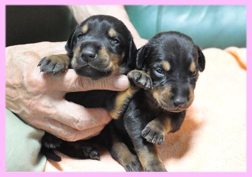 ドーベルマン ブラック&タン メス 子犬販売の専門店 AngelWan 横浜