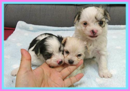 ミックス チワマル 子犬販売の専門店 AngelWan 横浜