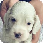 イングリッシュコッカースパニエル レモン オス 子犬販売の専門店 AngelWan 横浜