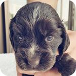 イングリッシュコッカースパニエル チョコレート オス 子犬販売の専門店 AngelWan 横浜