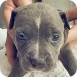 アメリカンピットブルテリア ブルー&ホワイト メス 子犬販売の専門店 AngelWan 横浜