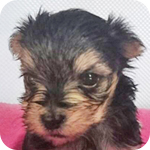 ミックス マルチーズ ヨーキー スチールブルー&タン オス 子犬販売の専門店 AngelWan 横浜