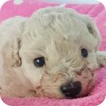 トイプードル メス 子犬販売の専門店 AngelWan 横浜