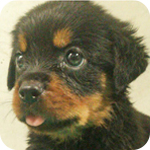 ロットワイラー オス 子犬販売の専門店 AngelWan 横浜