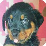 ロットワイラー メス 子犬販売の専門店 AngelWan 横浜