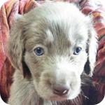 ワイマラナー グレー メス 子犬販売の専門店 AngelWan 横浜
