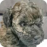 トイプードル ブリンドル オス 子犬販売の専門店 AngelWan 横浜