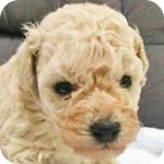 トイプードル クリーム メス 子犬販売の専門店 AngelWan 横浜