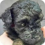 トイプードル ブラック メス 子犬販売の専門店 AngelWan 横浜