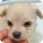 ミックス チワマル クリーム メス 子犬販売の専門店 AngelWan 横浜