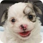 ミックス チワマル フォーン&ホワイト オス 子犬販売の専門店 AngelWan 横浜