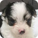 ミックス チワマル ホワイト&ブラック パーティ オス 子犬販売の専門店 AngelWan 横浜