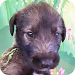 アイリッシュウルフハウンド ブリンドル オス 子犬販売の専門店 AngelWan 横浜