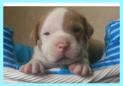 アメリカンピットブルテリア レッド&ホワイト オス 子犬販売の専門店 AngelWan 横浜