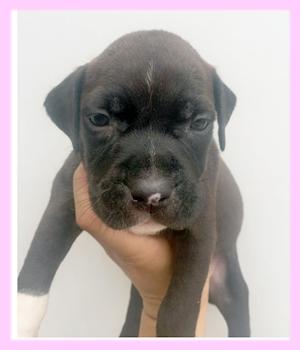 アメリカンピットブルテリア ブラック メス 子犬販売の専門店 AngelWan 横浜