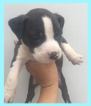 アメリカンピットブルテリア ブラック&ホワイト オス 子犬販売の専門店 AngelWan 横浜