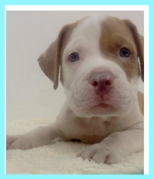 アメリカンピットブルテリア レッドホワイト オス 子犬販売の専門店 AngelWan 横浜